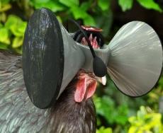 زندگی مجازی برای مرغ ها با عینک گوگل